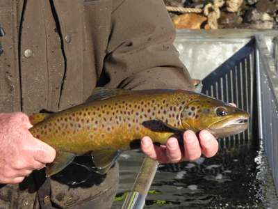 Crescent and Penstock get some more brown trout