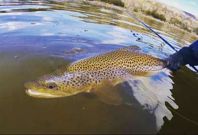 Trout fish tasmania brown trout