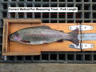 This image shows the correct way to measure a brown trout. A straight line from the tip of the snout to the end of the centre of the rail fin