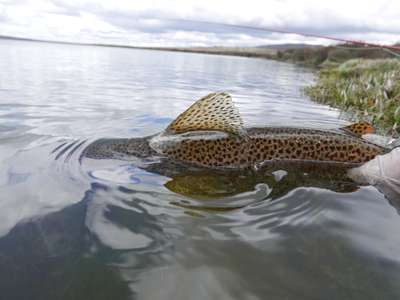A wild brown trout being released in the western lakes of Tasmania